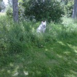 White dog in long grass