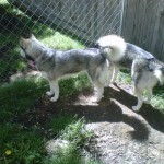 Two husky cross dogs by a chain link fence