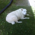 Large white dog sitting in the shade