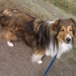 Beautiful Collie on Blue Leash