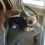 Little dog sitting on fancy chair.